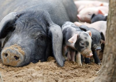 Sow-with-piglets-in-dirt